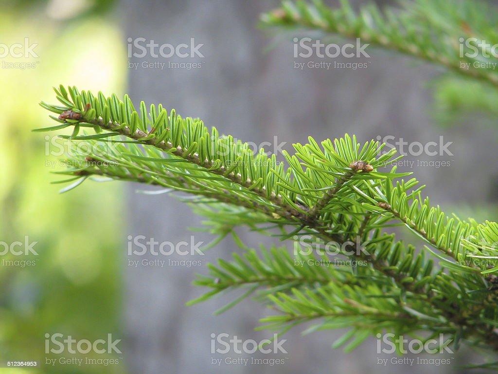 spruce филиал Стоковые фото Стоковая фотография