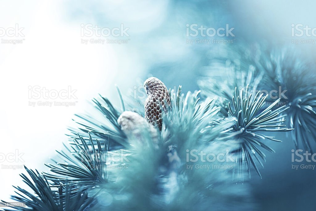 Spruce branch with cone royalty-free stock photo