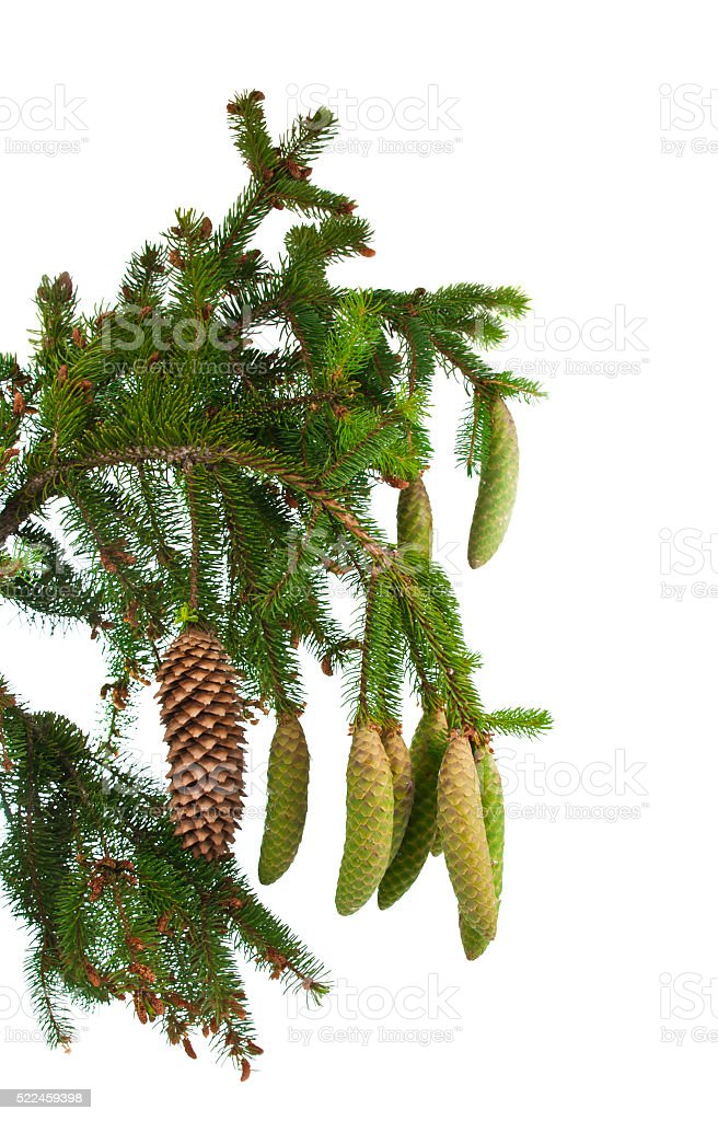 spruce branch with cones isolated stock photo