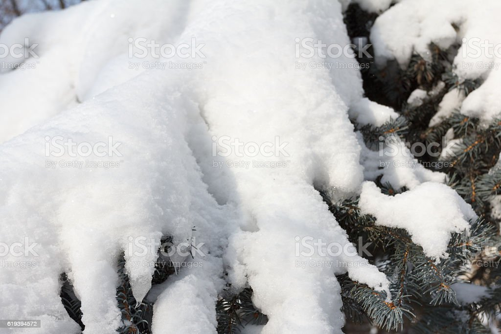 Spruce Branch With Snow Flakes. Christmas Holidays stock photo