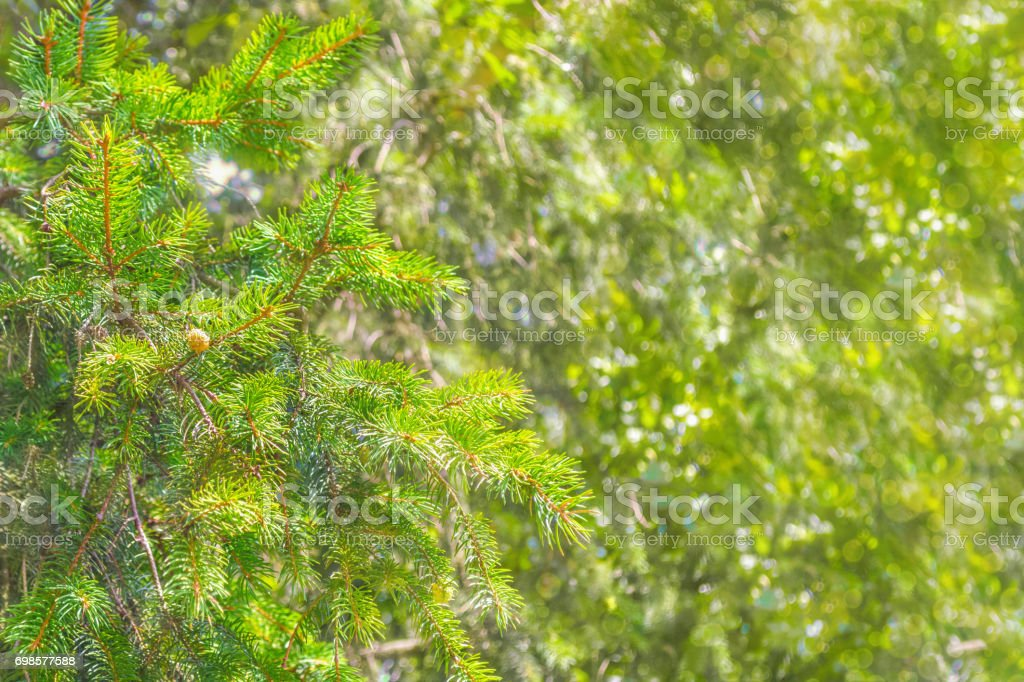 spruce branches blurry background bokeh stock photo