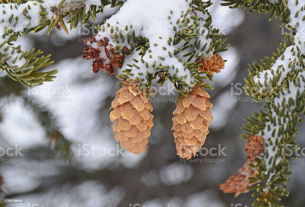 Spruce cones in snow stock photo