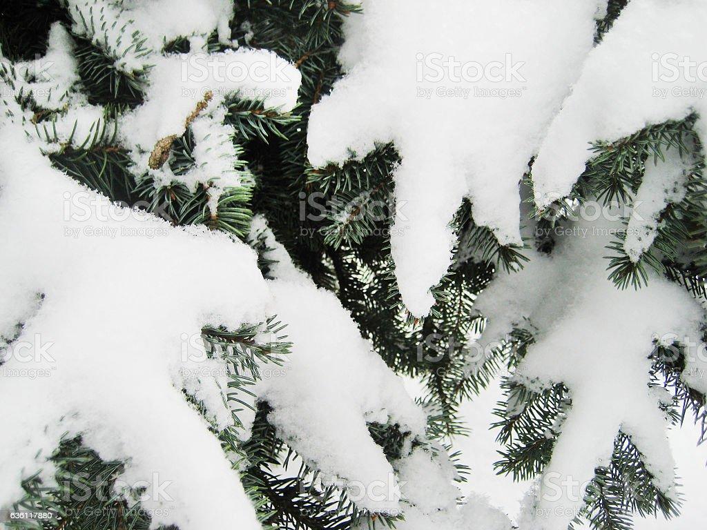 Spruce fir green trees in the winter season stock photo
