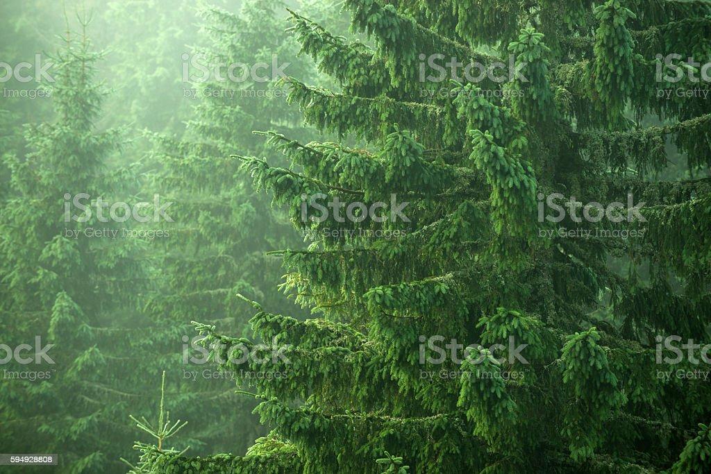 spruce, fir, trees stock photo
