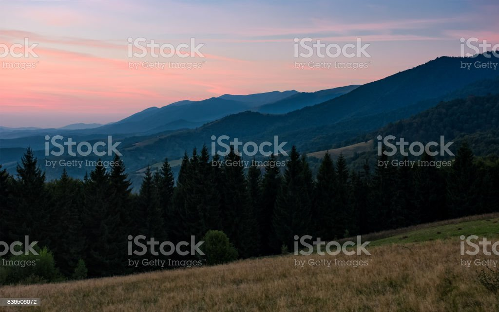 spruce forest in mountain at dawn stock photo