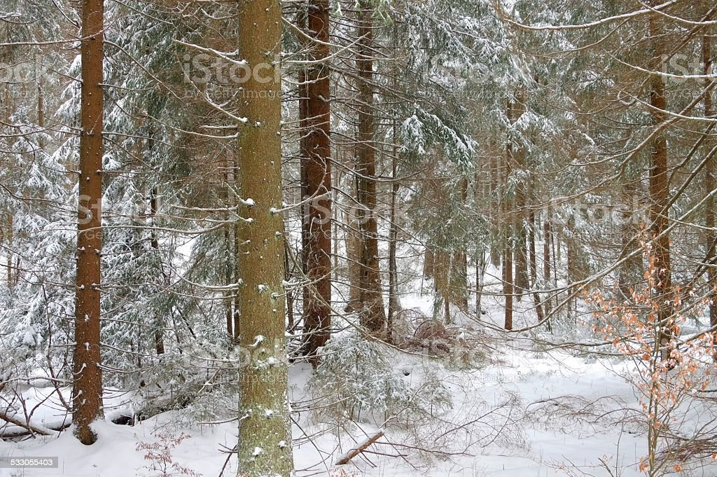 spruce forest in winter stock photo