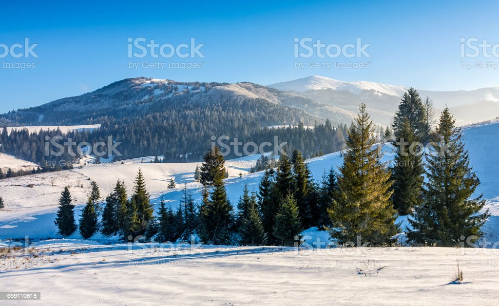 spruce forest on snowy meadow in high mountains stock photo