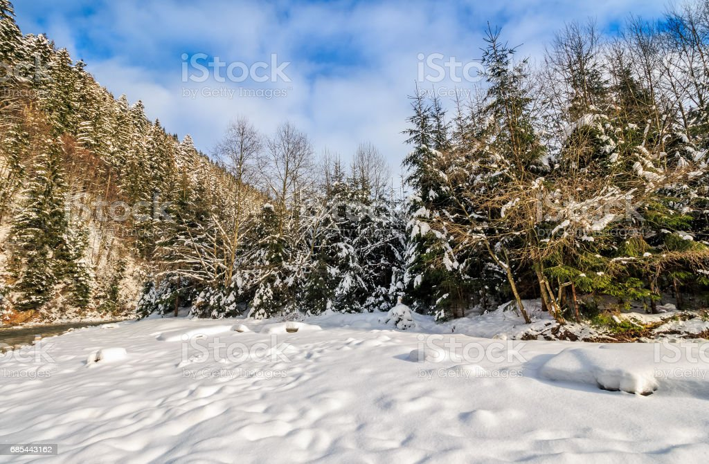 spruce forest on snowy meadow in mountains stock photo