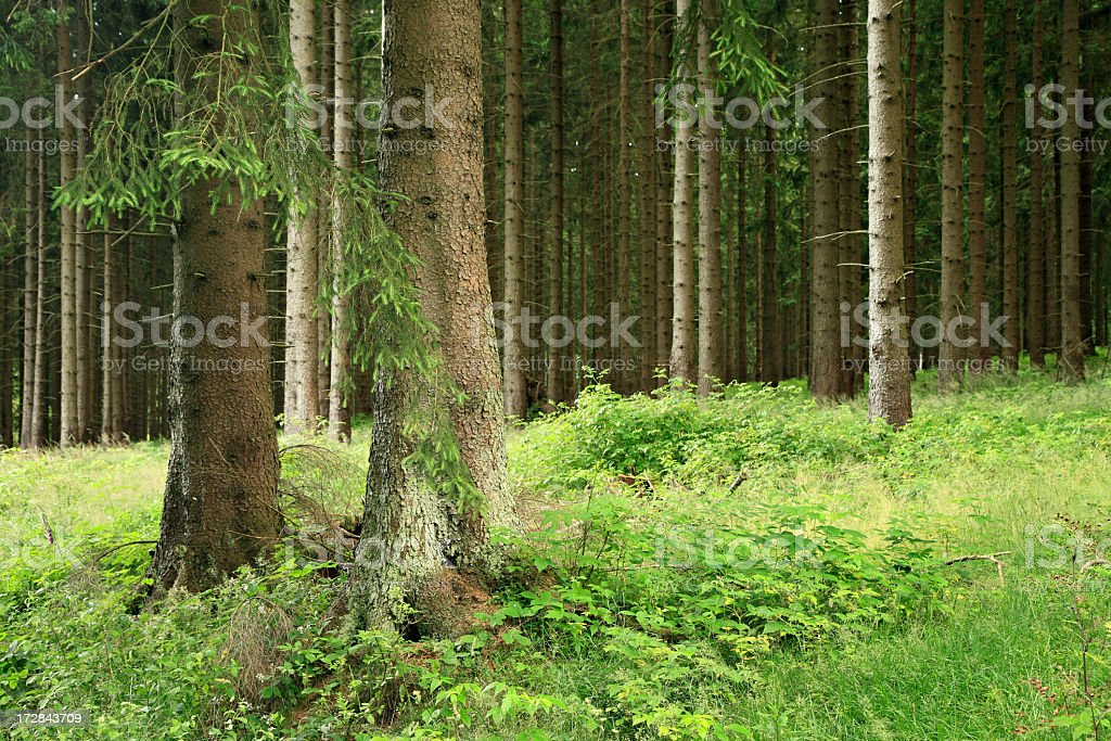 Spruce Forest royalty-free stock photo