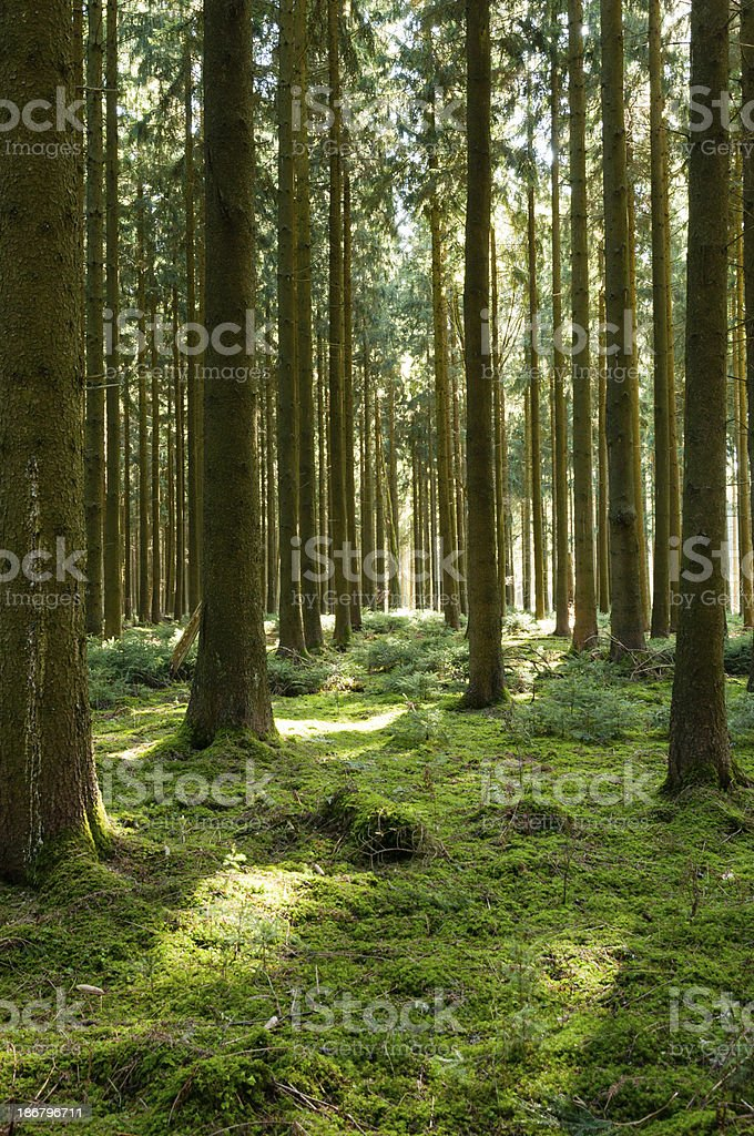 Spruce forest with mossy ground in Southern Germany royalty-free stock photo