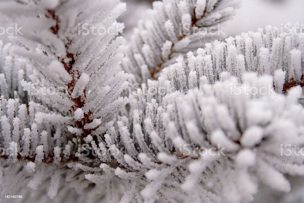 Spruce Frost stock photo
