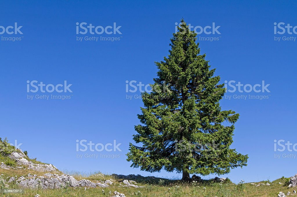 spruce in mountains stock photo