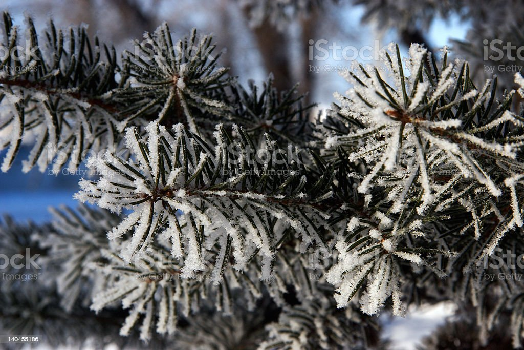 spruce in the snow (variant 2) royalty-free stock photo