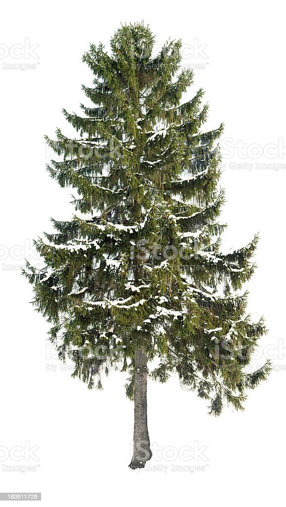 Spruce (Picea abies) in winter isolated on white with snow. stock photo