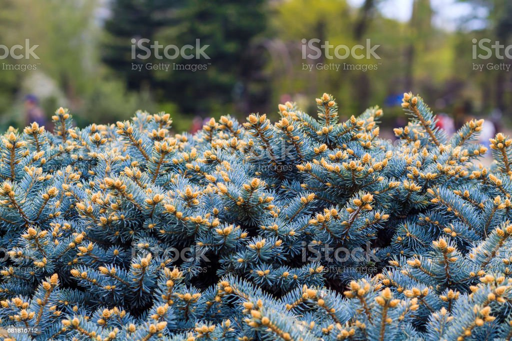 Spruce light blue branches of slender young fur-tree. lush spruce branch textured background. Fluffy Christmas tree Coniferous forest stock photo
