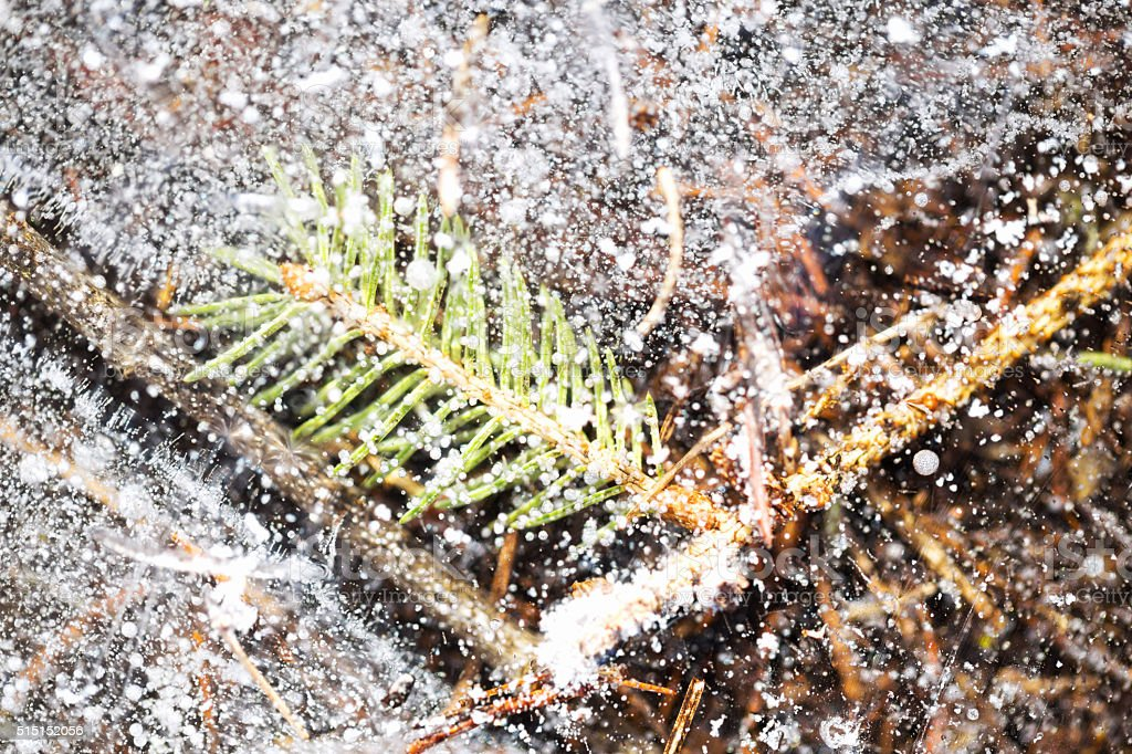 Spruce Needles and Twigs in a Frozen Water Puddle stock photo