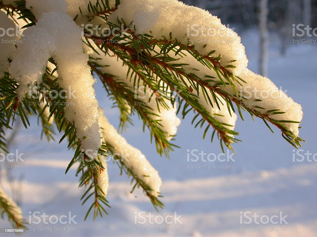 Spruce Needles royalty-free stock photo