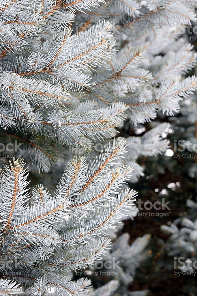 Spruce royalty-free stock photo
