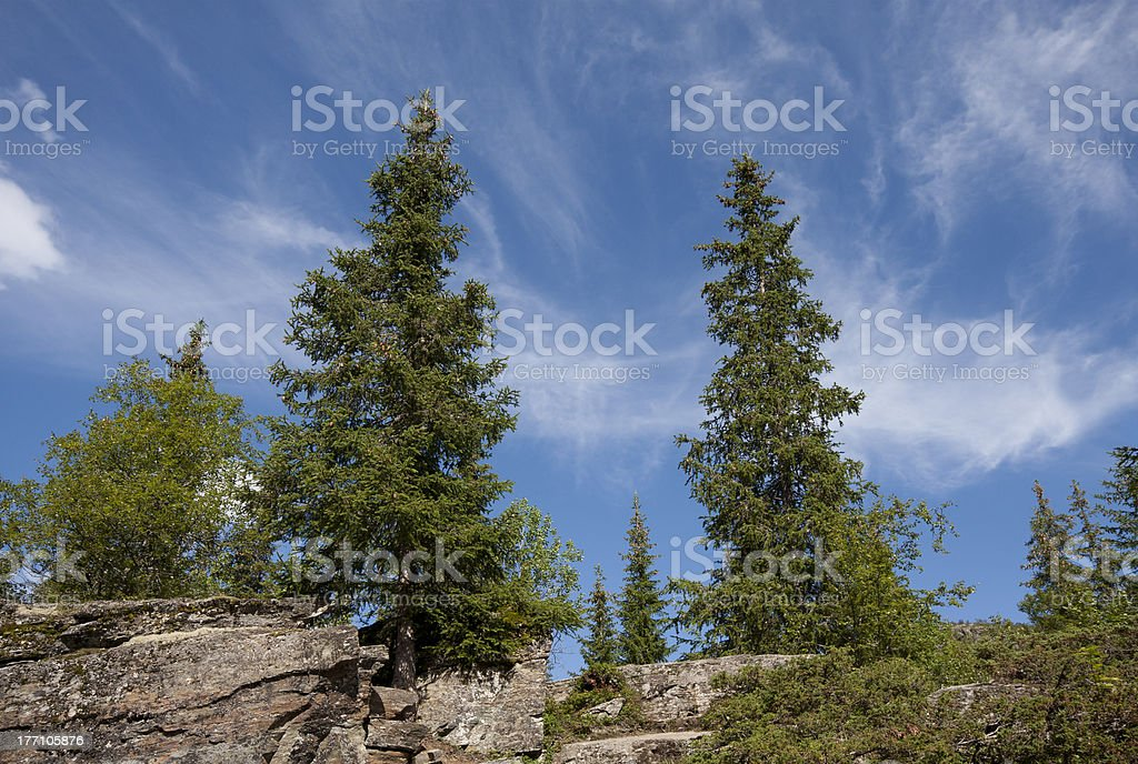 Spruce (Picea abies) stock photo
