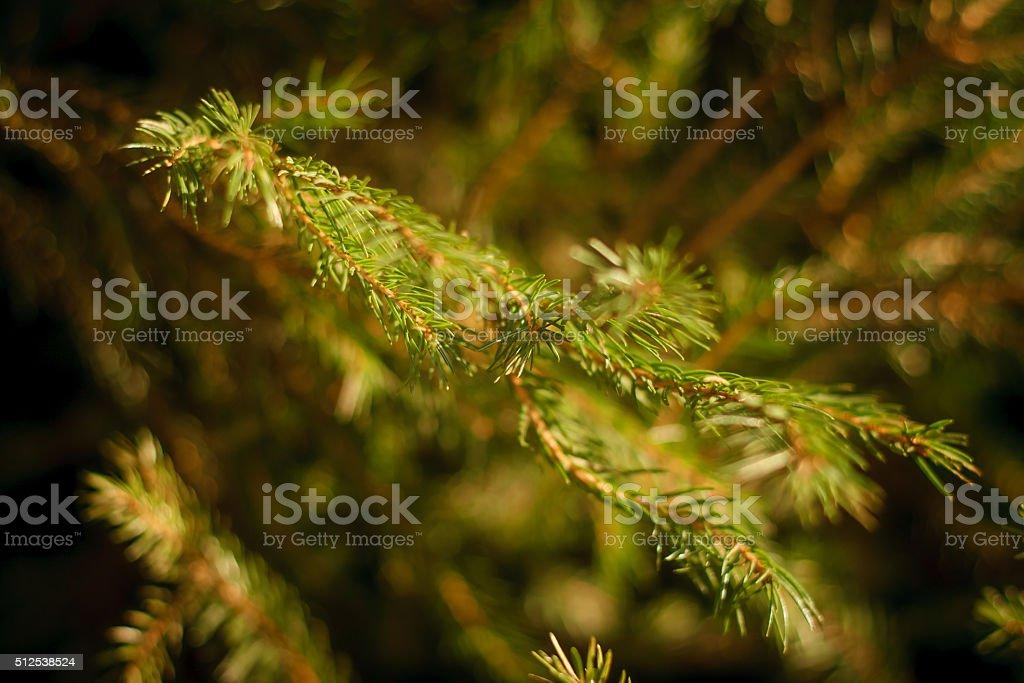 Spruce stock photo