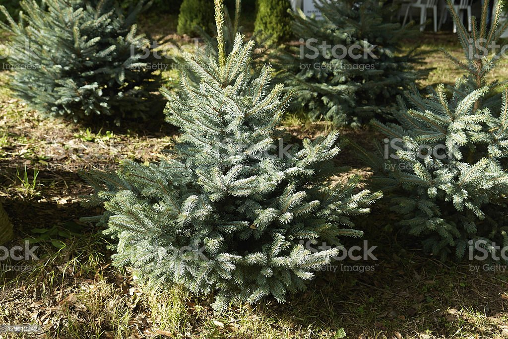 Spruce pine tree for Christmas royalty-free stock photo