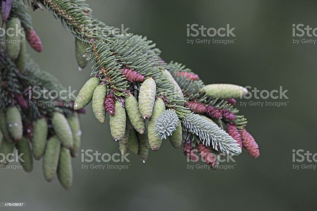Spruce Pinecones on the Tree royalty-free stock photo