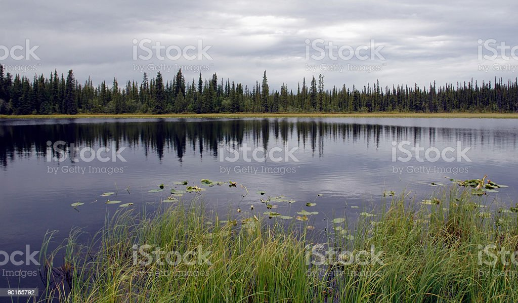Spruce Reflection royalty-free stock photo