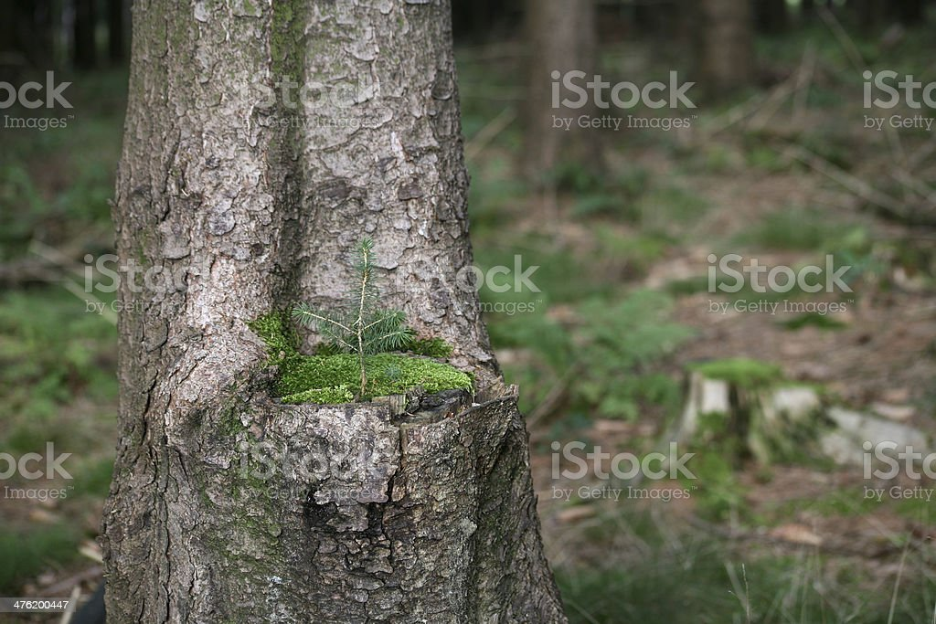 Spruce shoot stock photo