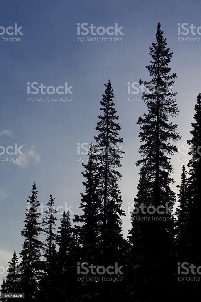 spruce sillouette stock photo