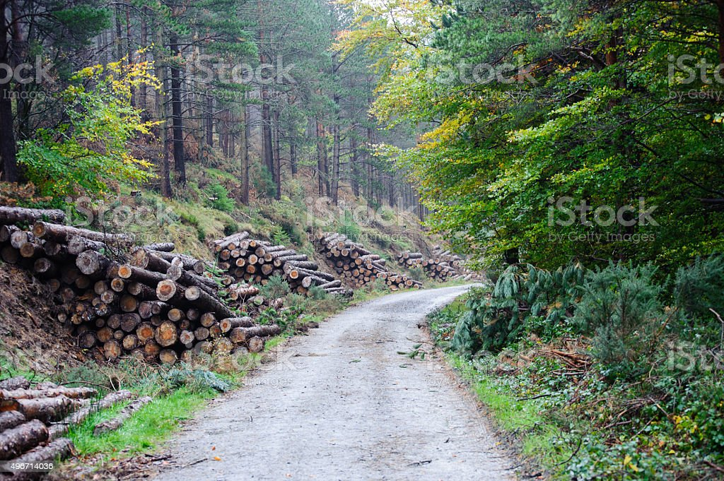 Spruce Timber Logging in the forest stock photo