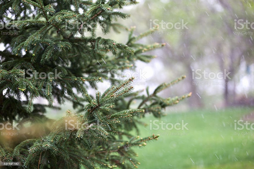 Spruce Tree and Sleet in Springtime stock photo