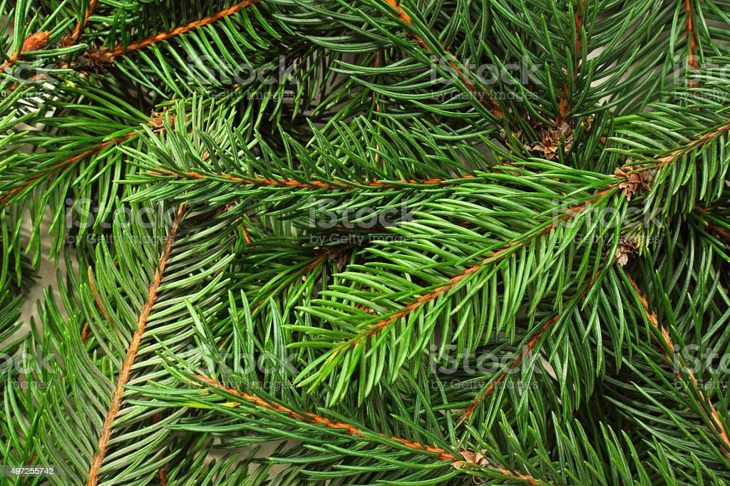 Spruce Tree Background stock photo