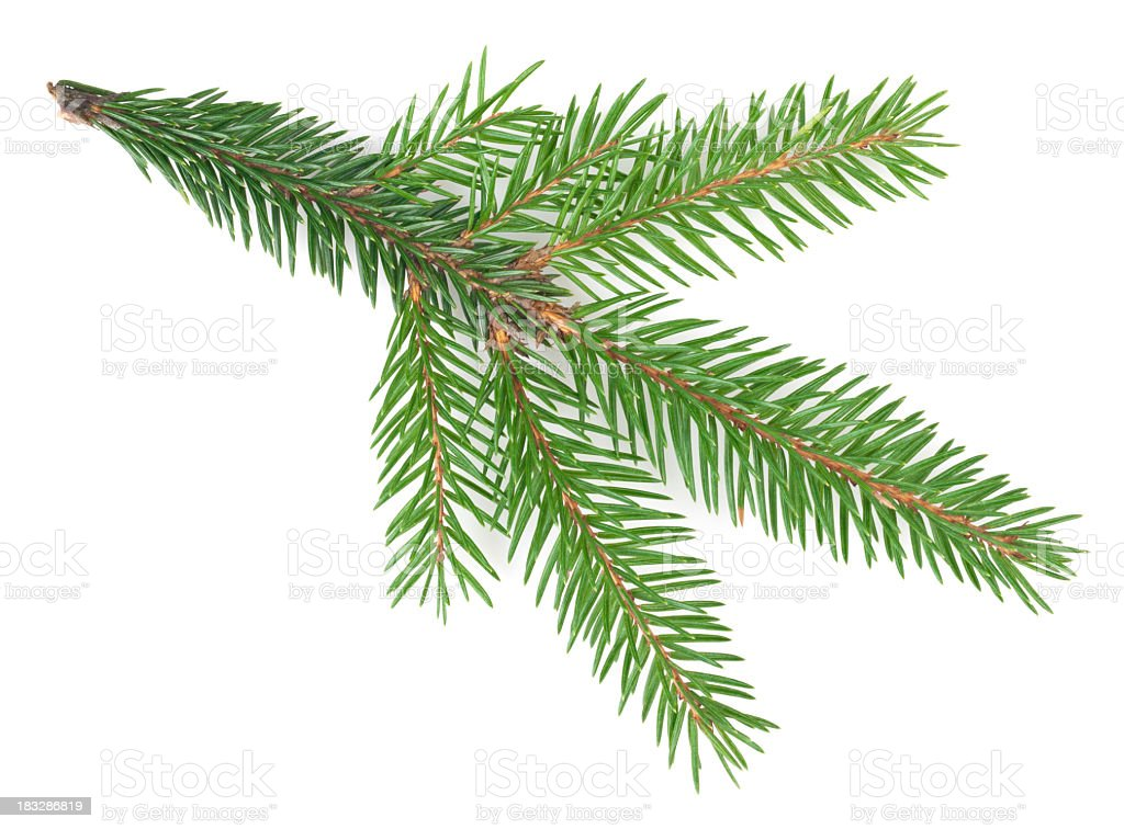 Spruce tree branch isolated on a white background stock photo