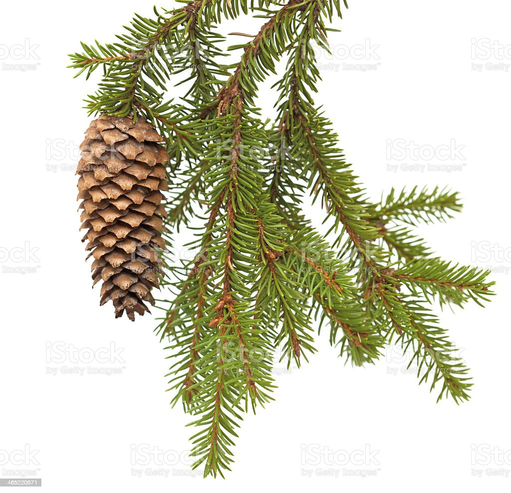 spruce tree branch with cone isolated on white stock photo
