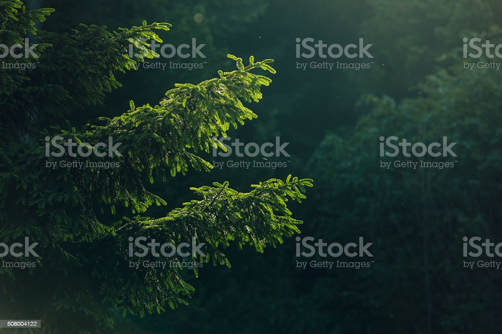Spruce tree branches stock photo