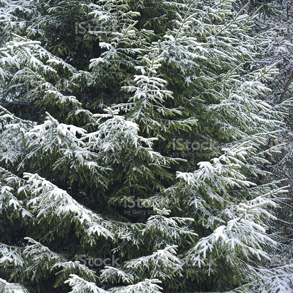 Spruce Tree covered by Snow royalty-free stock photo