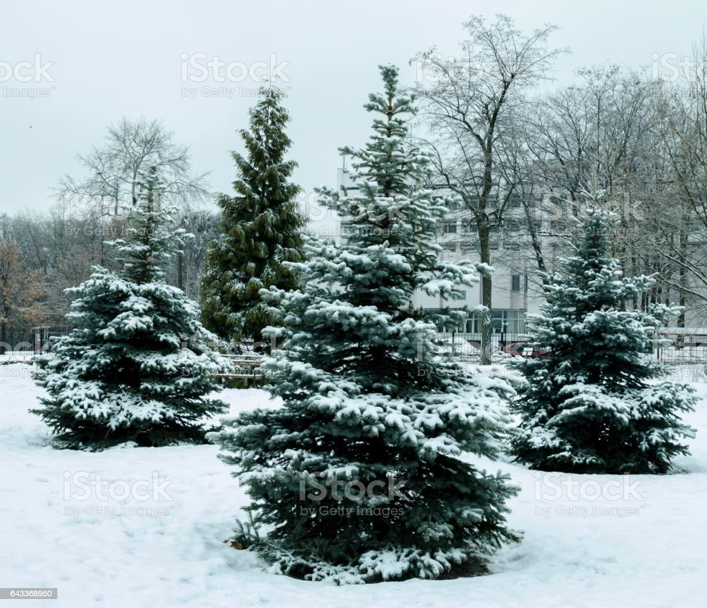 Spruce tree covered with ice and snow stock photo