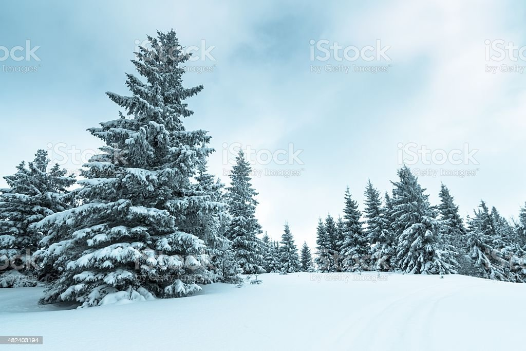 Spruce Tree Forest Covered by Snow in Winter Landscape stock photo