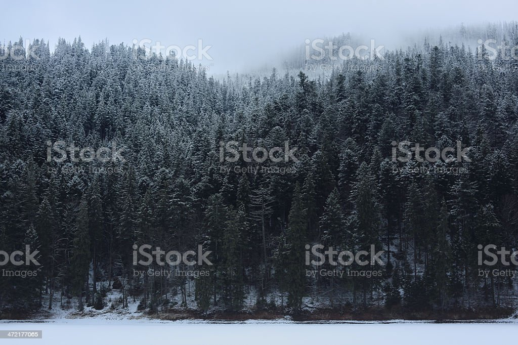 Spruce Tree forest covered by Snow royalty-free stock photo