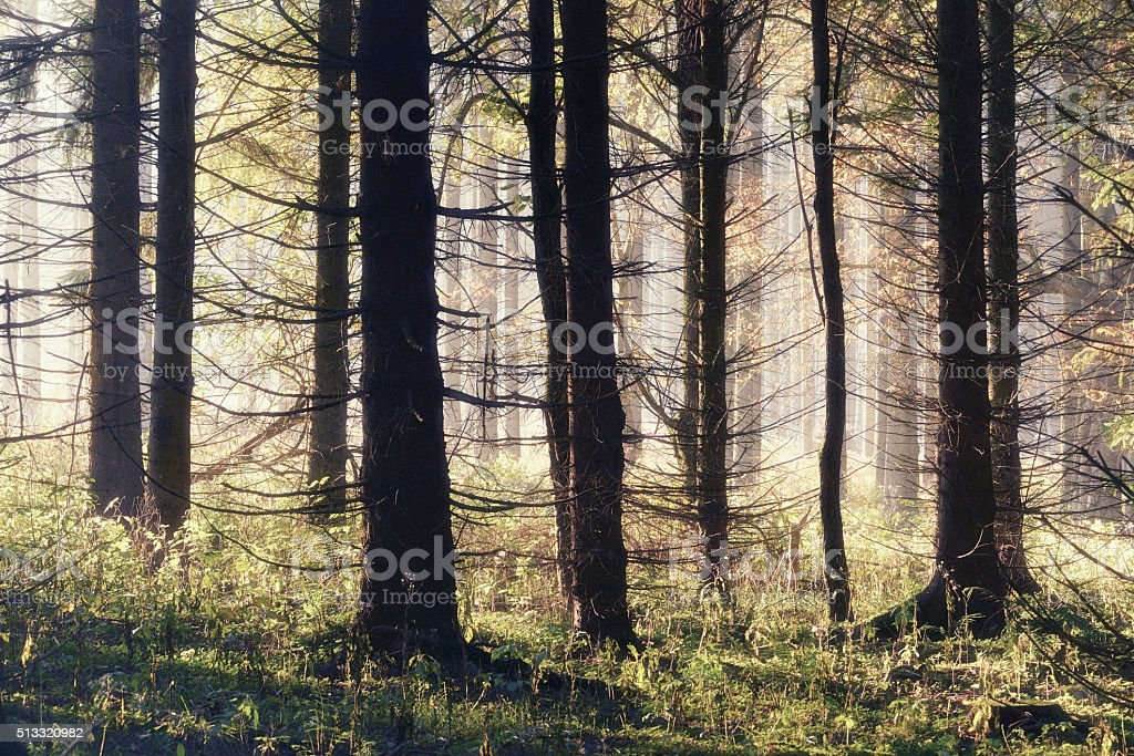 Spruce Tree Forest in Autumn, filtered, nostalgic color and grain stock photo