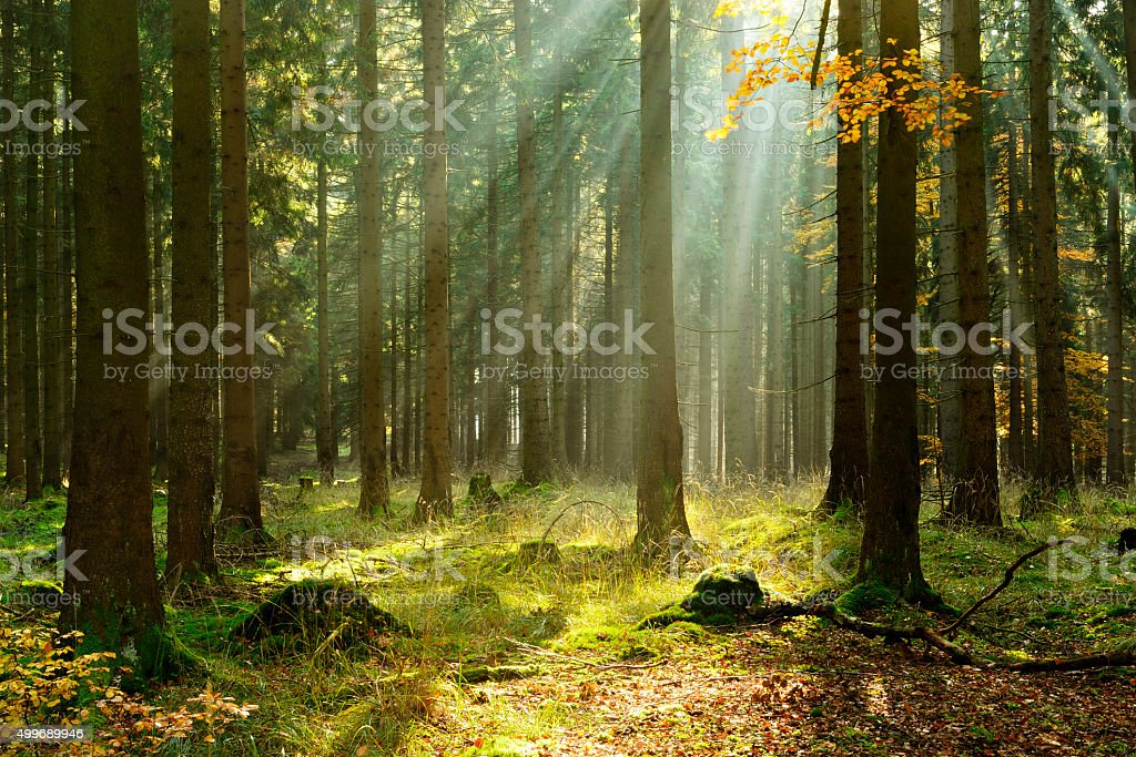 Spruce Tree Forest in Autumn Illuminated by Sunbeams through Fog stock photo