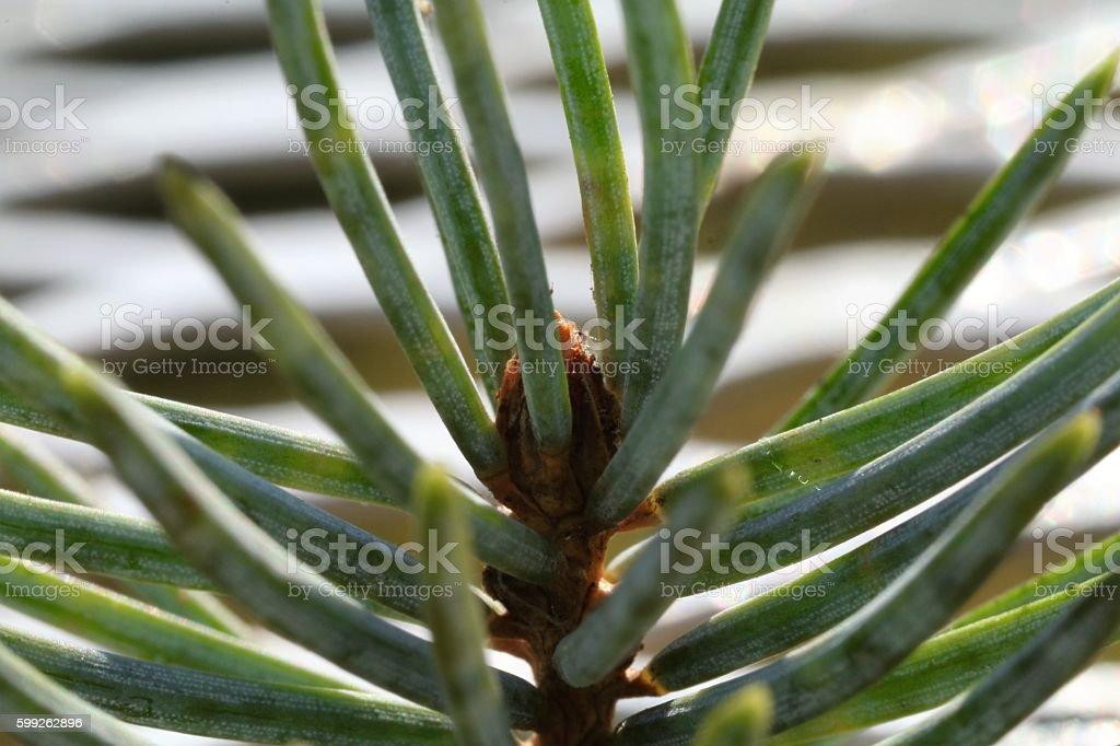 Spruce tree needles stock photo