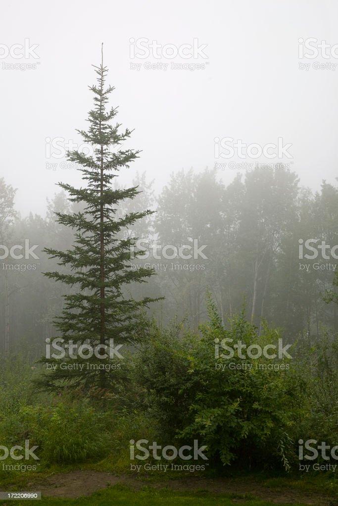 Spruce Tree on a Misty Morning royalty-free stock photo