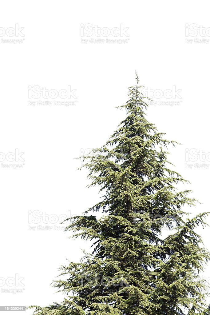Spruce Tree royalty-free stock photo