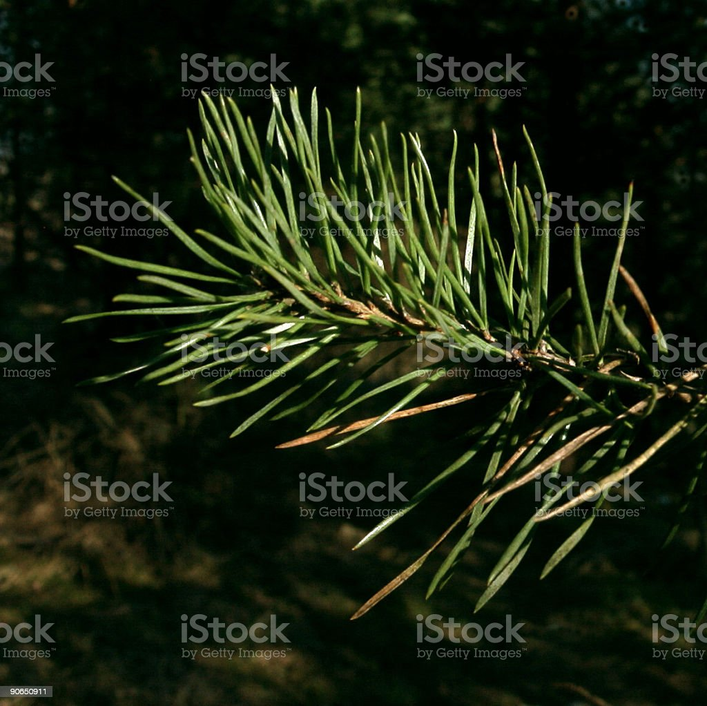 Spruce tree up close royalty-free stock photo