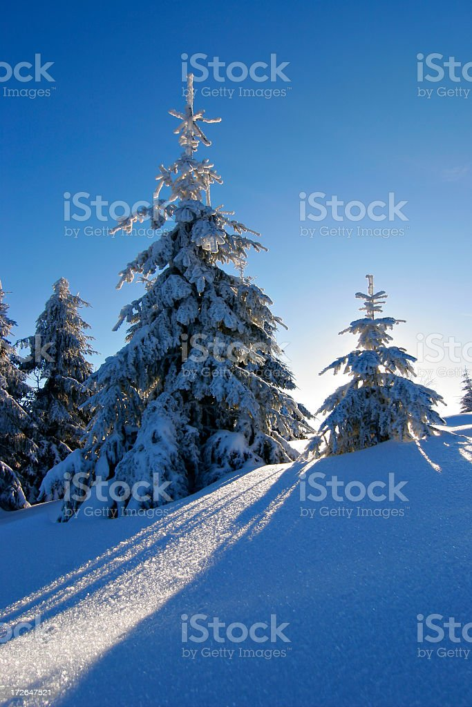 Spruce Trees Covered by Snow royalty-free stock photo