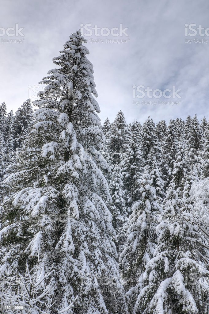 Spruce Trees Covered in Snow stock photo