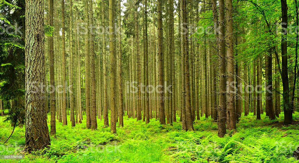 Spruce Trees in Spring, Forest Floor covered by Ferns stock photo