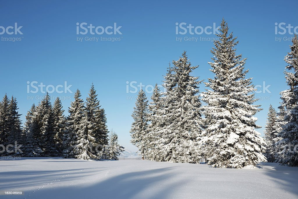 Spruce Trees In Winter royalty-free stock photo
