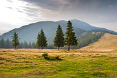 Spruce trees on the pasture
